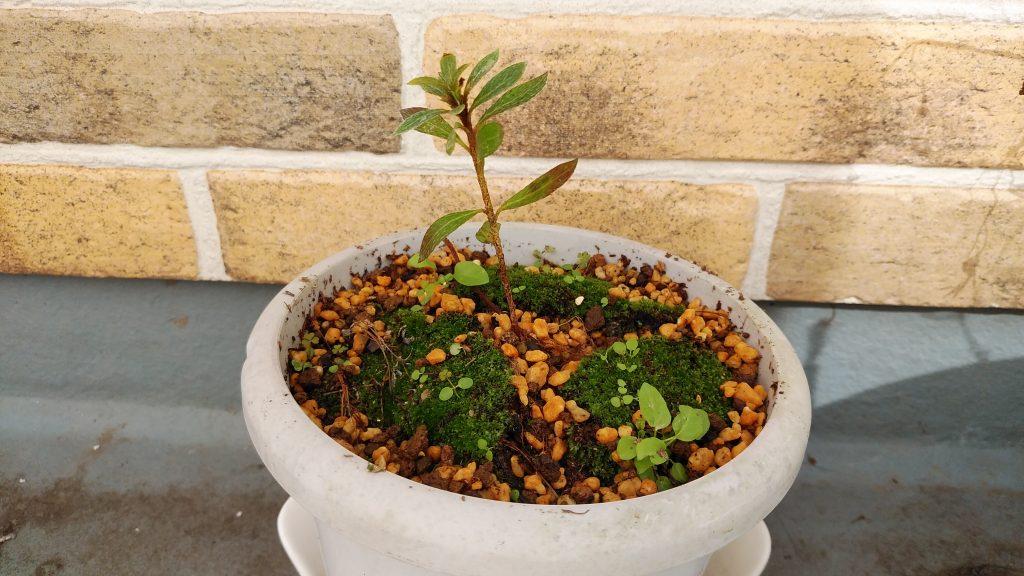 サツキの苗木