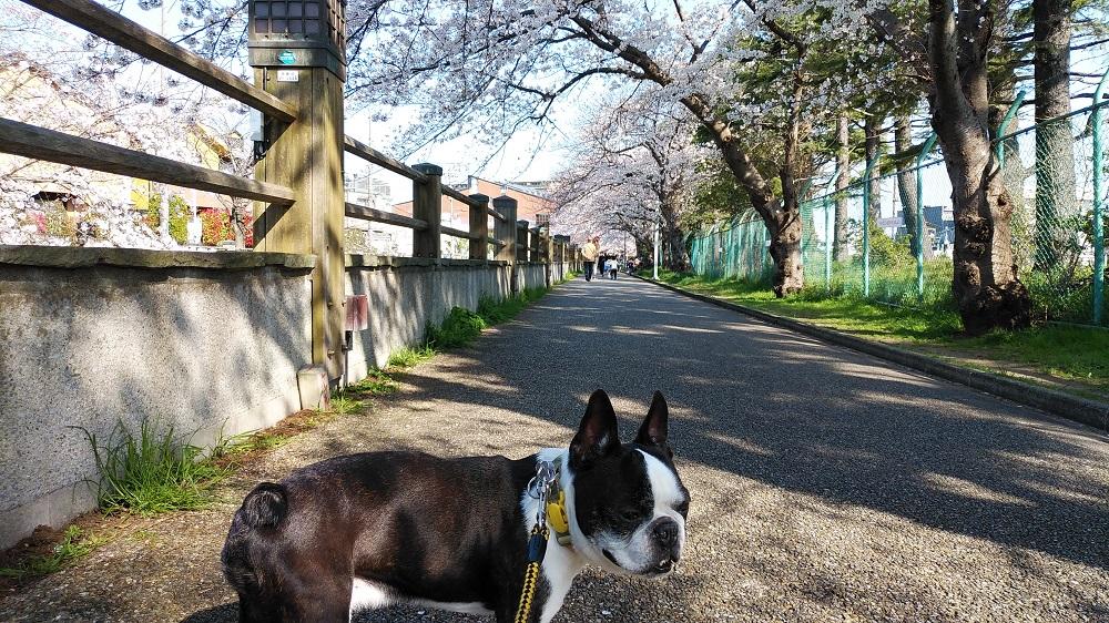 真間川の桜並木とお疲れのボステリ