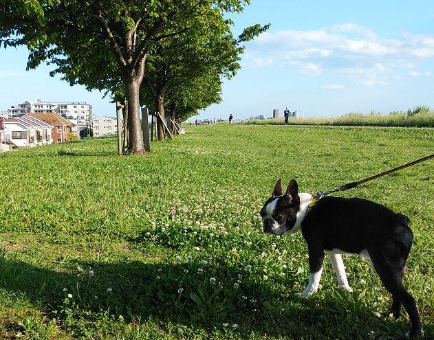 散歩中のボステリ 本八幡の椿整体院