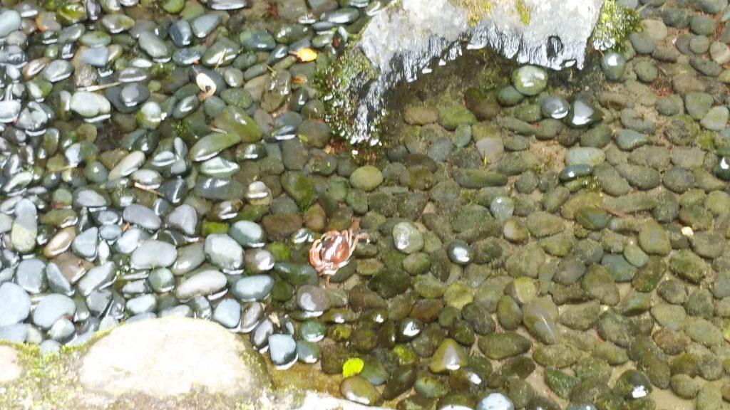 銀閣寺の沢蟹