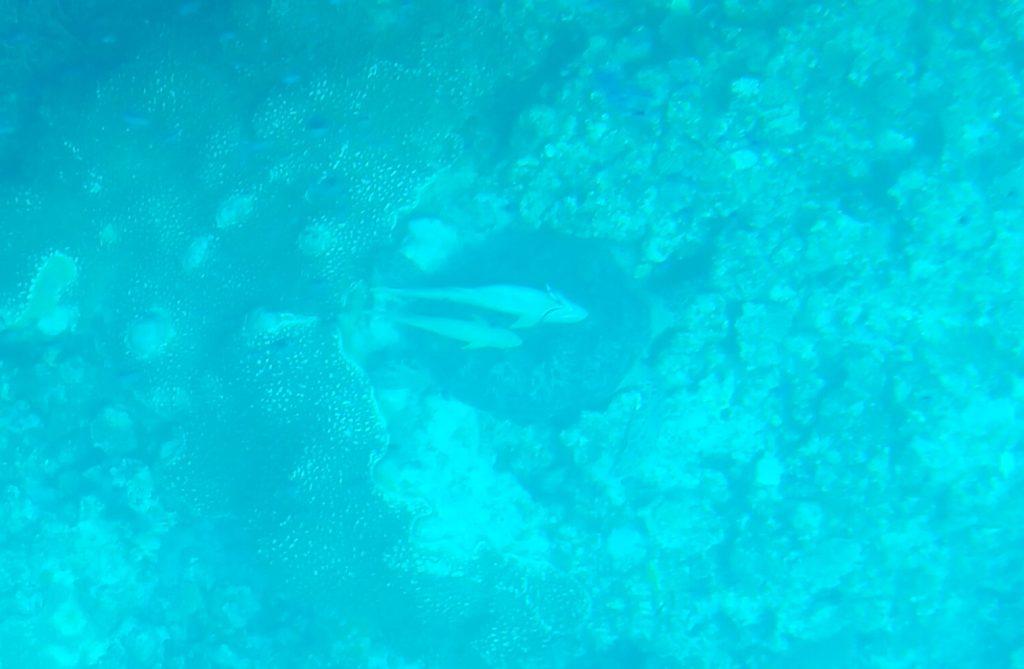 川平湾のグラスボートで見たコバンザメ付きのウミガメ