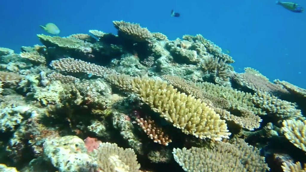米原の海はサンゴでいっぱい
