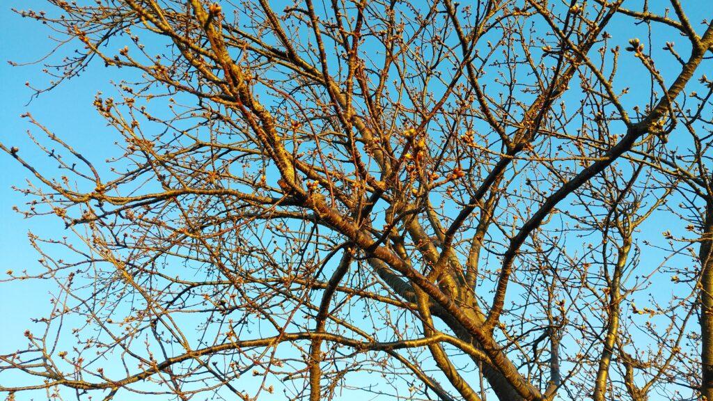 河津桜 つぼみはまだ硬いようです