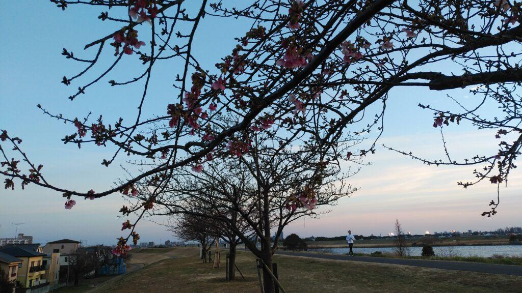 市川の河津桜が咲き始めました