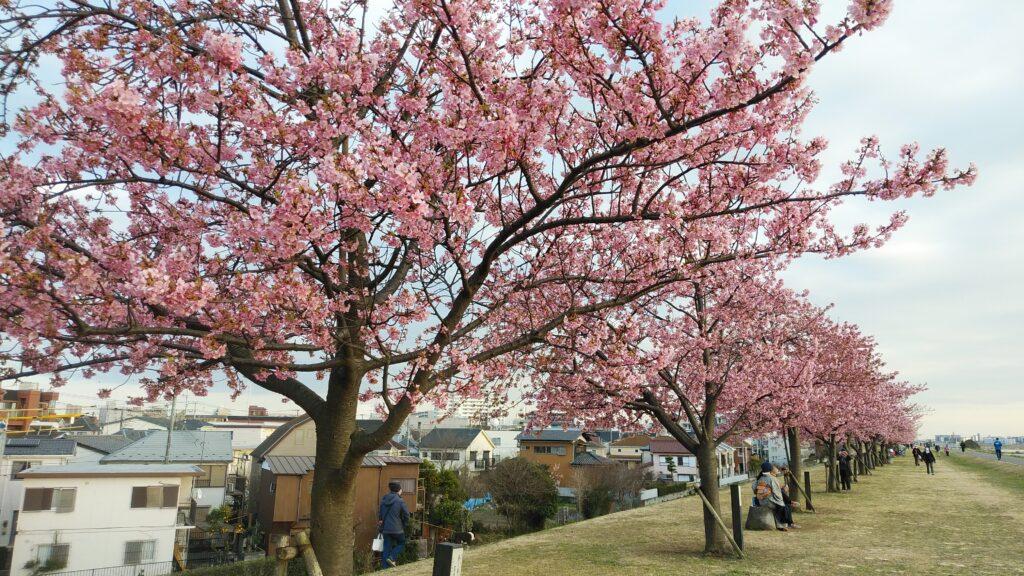 2月25日の江戸川河川敷の河津桜