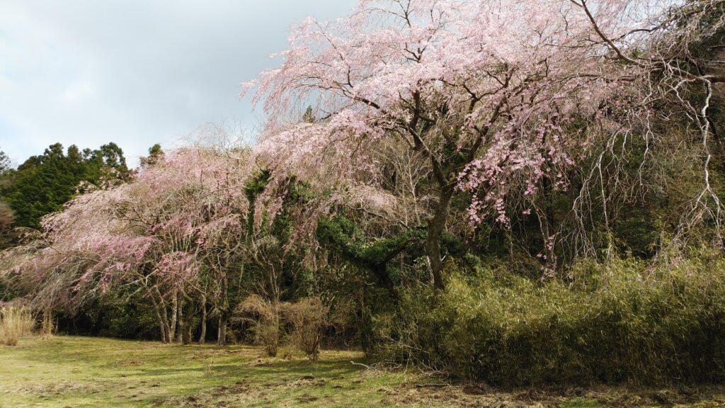 九頭龍神社敷地奥の桜