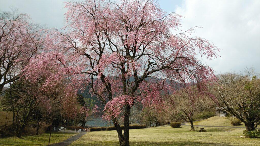 九頭龍神社敷地手前の桜
