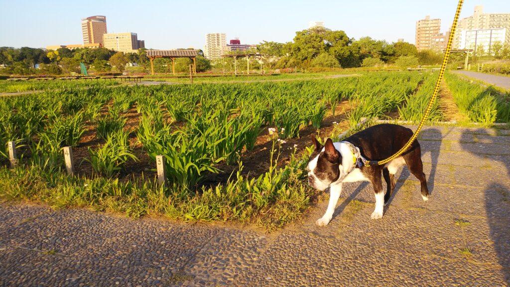 4月の小岩菖蒲園の菖蒲