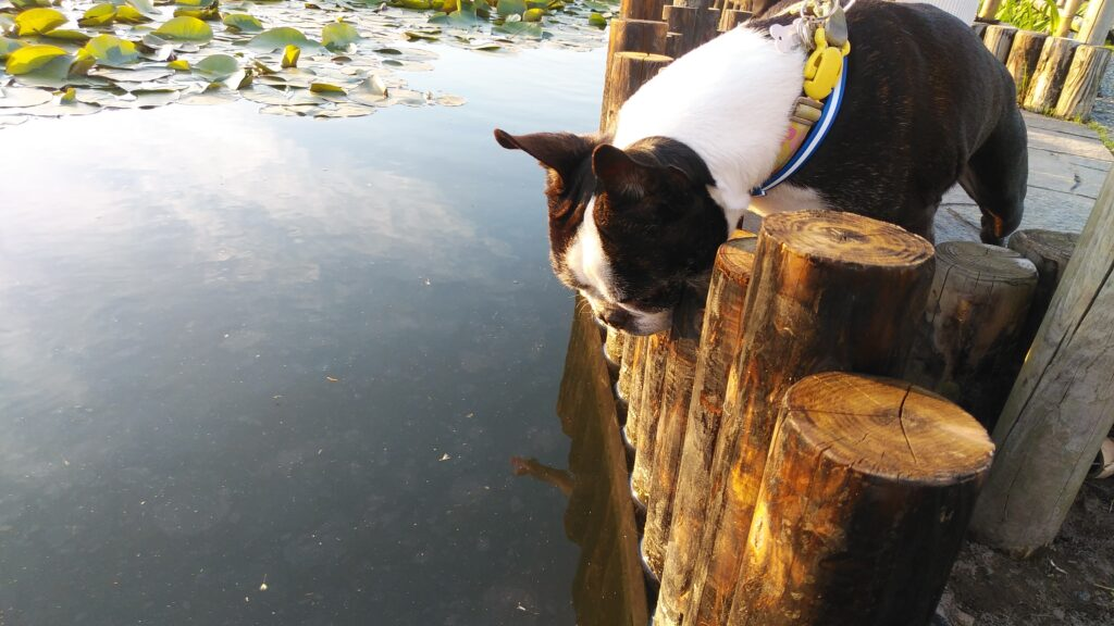 蓮池を見つめるボステリ